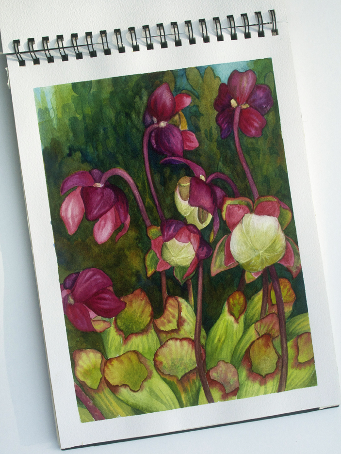 Pitcher Plant from the Crystal Lake Bog, watercolor, June 2014
